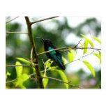 Colibri (colibrí) - Martinica, FWI Tarjeta Postal