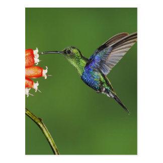 Colibrí hermoso tarjeta postal