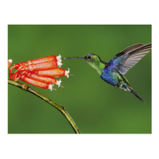 Colibrí hermoso tarjetas postales