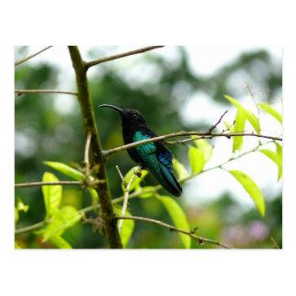 Colibri (Hummingbird) - Martinique, FWI Postcard