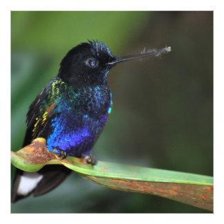 Colibrí negro, azul y verde bonito fotografía