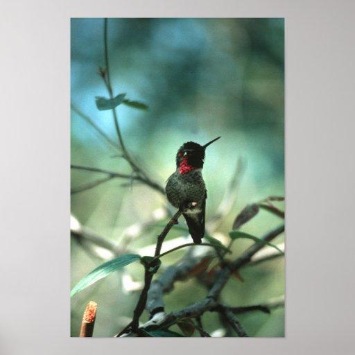 colibrí póster