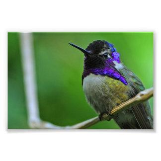 Colibrí púrpura fotografía