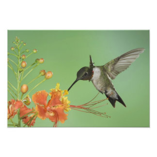 colibrí Rubí-throated, Archilochus 2 Impresión Fotográfica