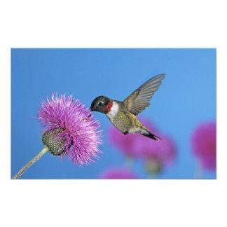 colibrí Rubí-throated, Archilochus 4 Fotografía