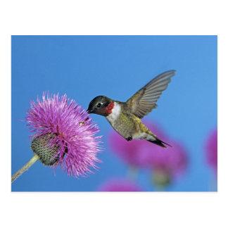 colibrí Rubí-throated, Archilochus 4 Tarjetas Postales
