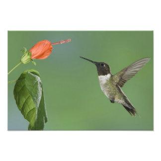 colibrí Rubí-throated, Archilochus Fotos