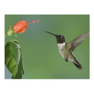 colibrí Rubí-throated, Archilochus Postales