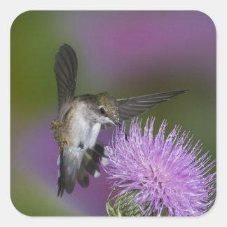colibrí Rubí-throated en vuelo en el cardo 3 Calcomanías Cuadradas Personalizadas
