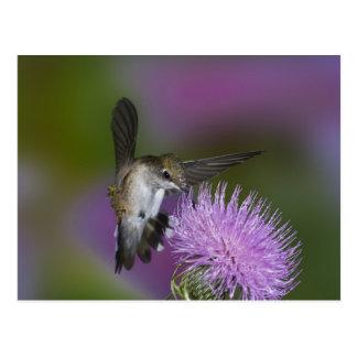 colibrí Rubí-throated en vuelo en el cardo 3 Postales