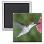 colibrí Rubí-throated (femenino) con la petunia Imán De Nevera