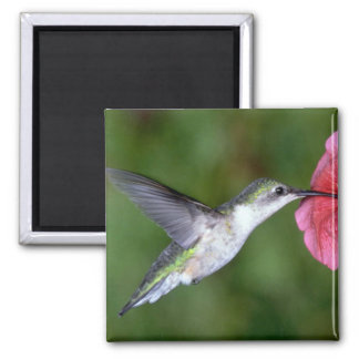 colibrí Rubí-throated (femenino) con la petunia Imán Cuadrado