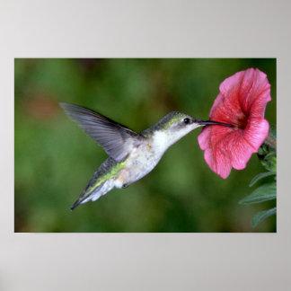 colibrí Rubí-throated (femenino) con la petunia Póster