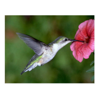 colibrí Rubí-throated (femenino) con la petunia Postal