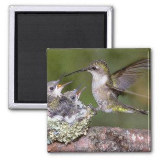 colibrí Rubí-throated (femenino) con los jóvenes Imán Cuadrado