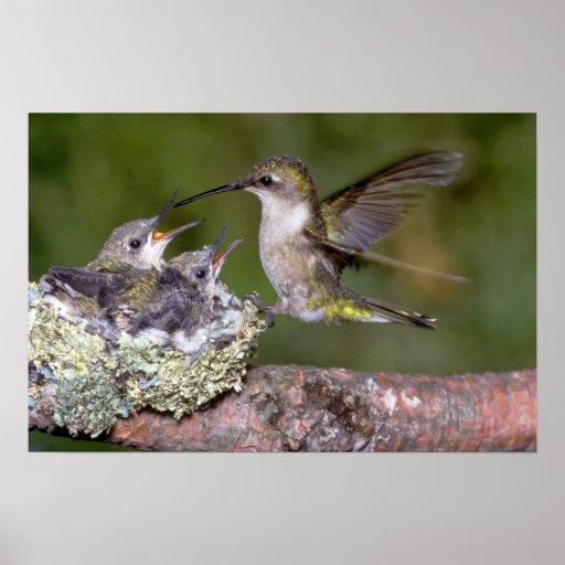 colibrí Rubí-throated (femenino) con los jóvenes Impresiones