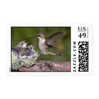 colibrí Rubí-throated femenino con los jóvenes