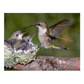 colibrí Rubí-throated femenino con los jóvenes Postales