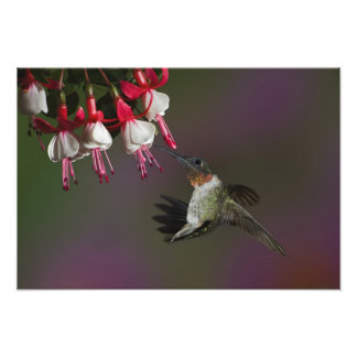 Colibrí Rubí-throated masculino en vuelo. Fotografía