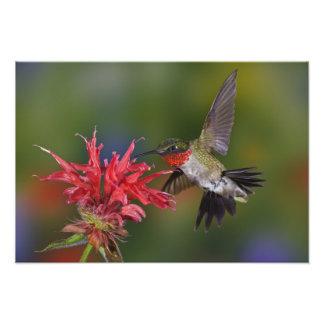 Colibrí Rubí-throated masculino que alimenta encen Cojinete