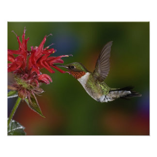 Colibrí Rubí-throated masculino que alimenta encen Posters