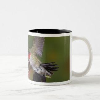 Colibrí Rubí-throated masculino que alimenta encen Taza De Café