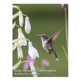 colibrí Rubí-throated Tarjetas Postales