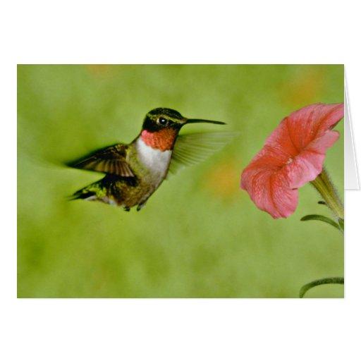 colibrí Rubí-throated (varón) con rosa de la petun Felicitaciones