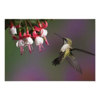 Colibrí throated de rubíes femenino en vuelo. fotografía