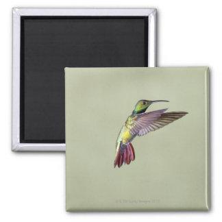Colibrí Verde-breasted Anthracocorax 2 del mango Iman De Frigorífico