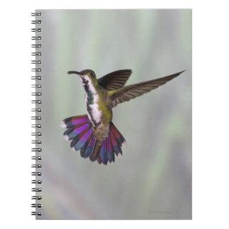 Colibrí Verde-breasted Anthracocorax 3 del mango Libros De Apuntes Con Espiral