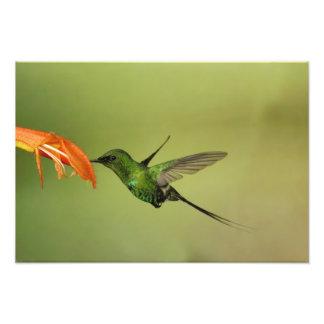 Colibrí verde de Thorntail, Cordillera Fotografía