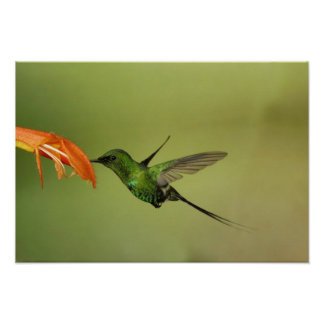 Colibrí verde de Thorntail, Cordillera Póster