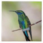 Colibrí verde del Violeta-oído Azulejos Ceramicos