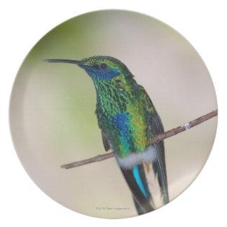 Colibrí verde del Violeta-oído Platos De Comidas