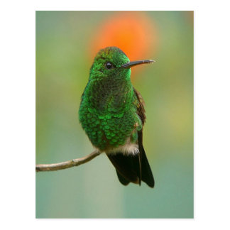 Colibrí verde postales
