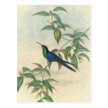 Colibrí verde y azul de Gould Tarjeta Postal