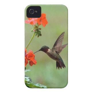 Colibrí y flores iPhone 4 carcasas