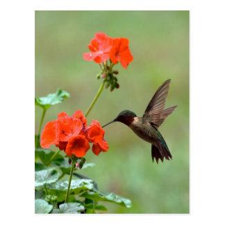 Colibrí y flores postales