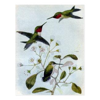 colibríes Rubí-throated Tarjetas Postales