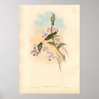 Colibríes y orquídeas de Gould Impresiones
