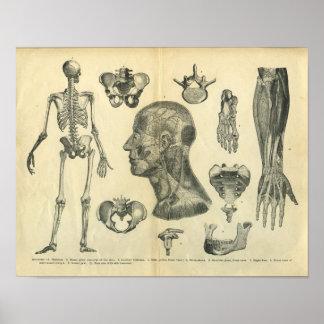 Collage de los ejemplos anatómicos del cuerpo poster