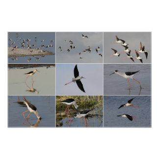 collage Negro-con alas de los zancos Póster