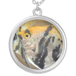 Collar anaranjado y negro del Angelfish