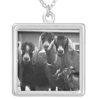 Collar blanco y negro de la familia de la cabra