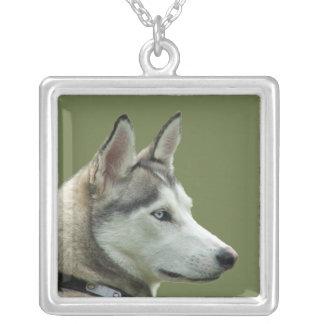 Collar hermoso de la foto del perro siberiano forn