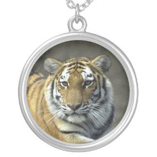 Collar vigilante del tigre