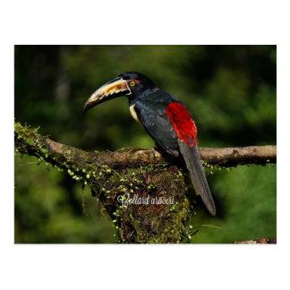 Collard araceri, tropical bird postcard