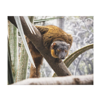 Collared Brown Lemur on Branch Canvas Prints
