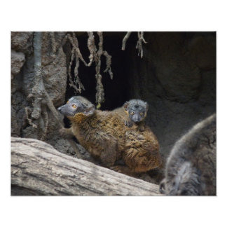 Collared Brown Lemur with Baby Photo Print